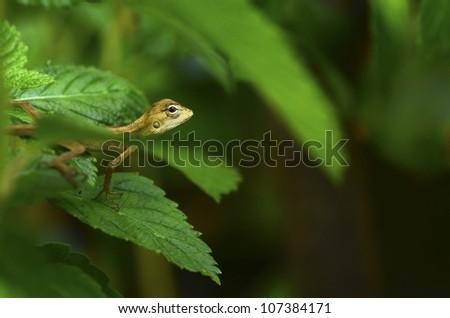 chameleon on tree - stock photo