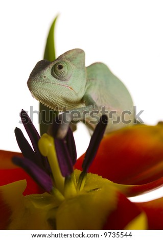Chameleon on tulip - stock photo