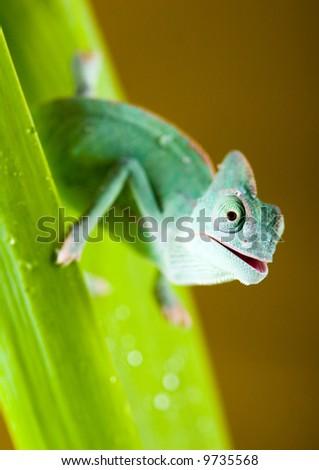 Chameleon on tulip - stock photo
