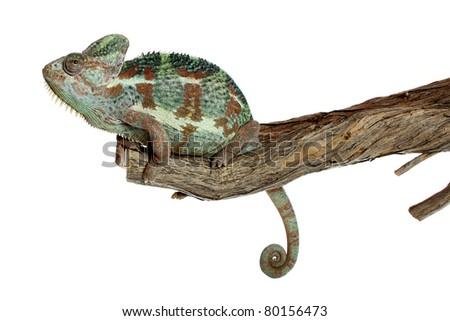 Chameleon on white background - stock photo