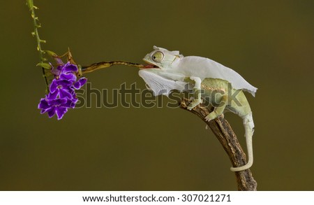 chameleon shedding skin - stock photo