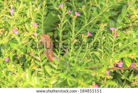 Chameleon shrubs - stock photo