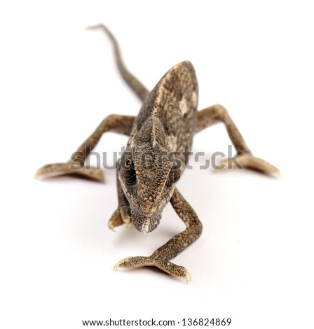 Chameleon sitting on a white background - stock photo