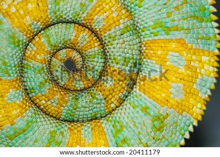 Chameleon Tail Spiral - stock photo
