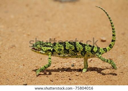 Chameleon walking across sand road, Green and black - stock photo