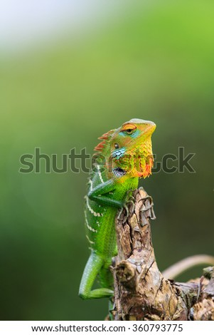 Chameleon with red and yellow head on a branch - stock photo