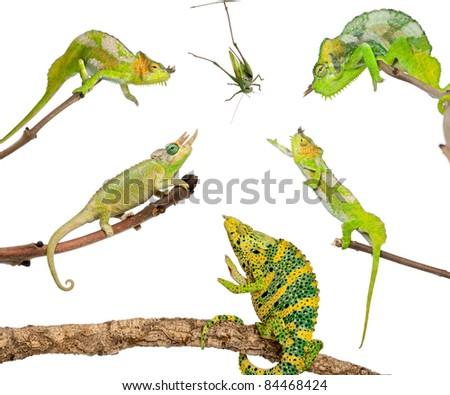 Chameleons reaching for grasshopper in front of white background - stock photo