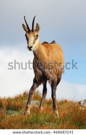 Chamois in mountain
