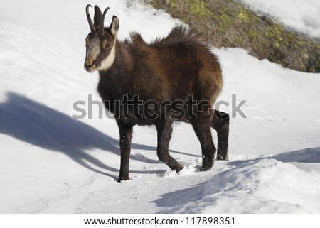 Chamois in snow