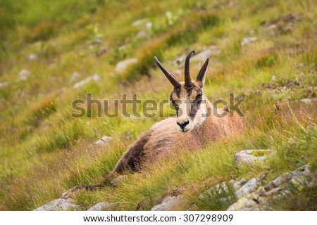 Chamois Rupicapra in mountains