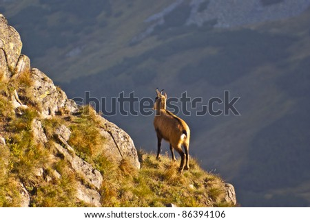 Chamois (Rupicapra rupicapra) standing on top of the steep slope - stock photo