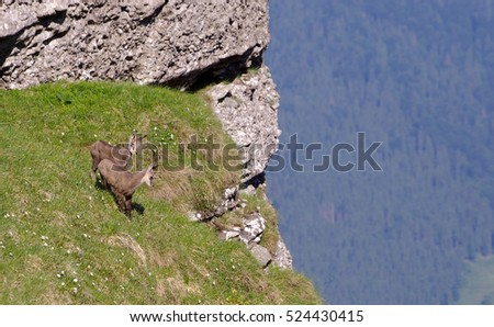 chamois wildlife in nature, Romania