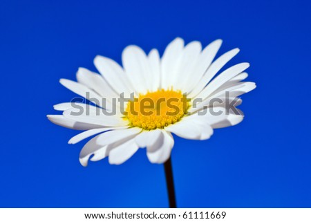 chamomile against the blue sky