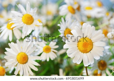 Chamomile against the sky. A beautiful scene of nature with blooming Chamomile. Chamomile Spring floral sky landscape.Summer daisy