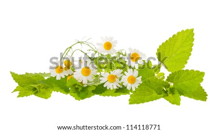 chamomile and lemon balm isolated on white - stock photo