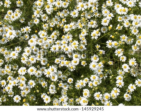 chamomile blossoms - stock photo