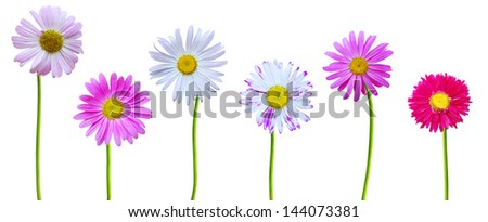 Chamomile daisy blooming in America - stock photo