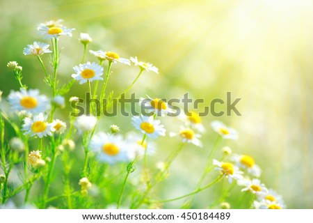 Chamomile field flowers border. Beautiful nature scene with blooming medical chamomilles in sun flare. Alternative medicine Spring Daisy. Summer flowers. Beautiful meadow. Summer background - stock photo