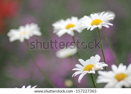Chamomile Flower - stock photo