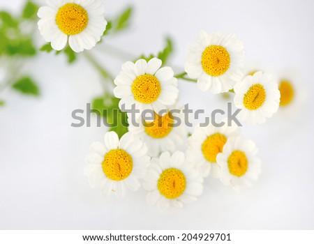 Chamomile flower - stock photo