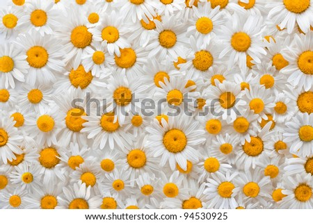 Chamomile flower background - stock photo