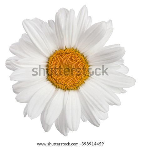 Chamomile flower head isolated on white background