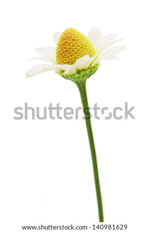 chamomile flower head on a white background - stock photo