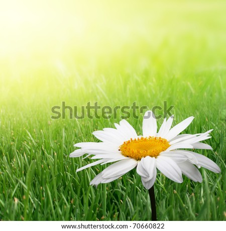 chamomile flower in grass - stock photo