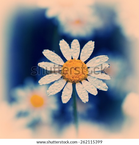 chamomile flower in water drops after rain - stock photo