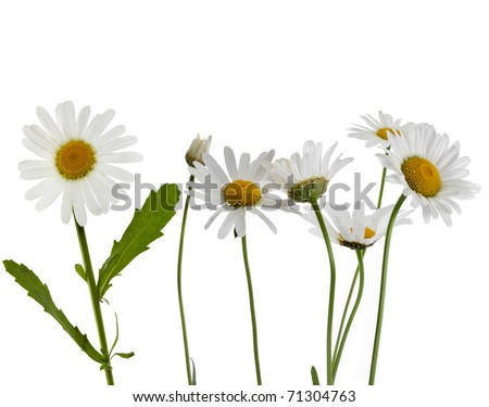 chamomile flower isolated on white - stock photo