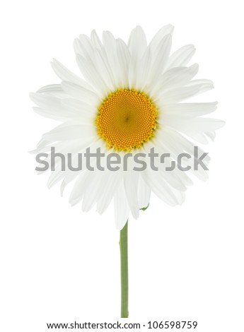 Chamomile flower. Isolated on white background - stock photo