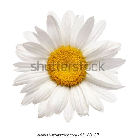 chamomile flower isolated with clipping path - stock photo