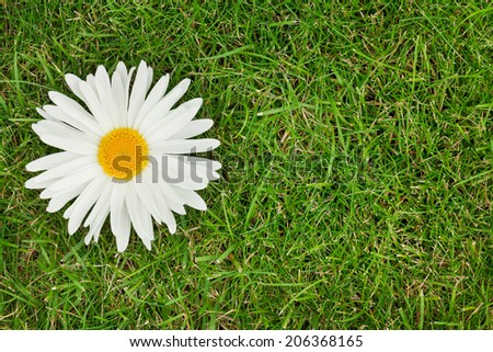 Chamomile flower over green grass with copy space - stock photo