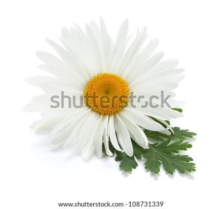 Chamomile flower with leaves. Isolated on white background - stock photo