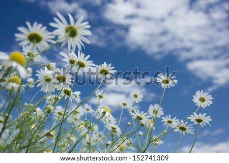 Chamomile flowers against the blue sky - stock photo