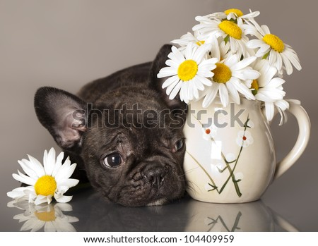 chamomile flowers and French bulldog puppy - stock photo