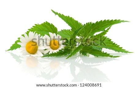 chamomile flowers and nettle leaves close up on white background with reflection - stock photo
