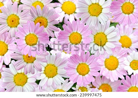 chamomile flowers - Daisy flower field close up  - stock photo