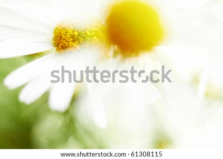 Chamomile flowers. Defocused closeup shot. With space for text. - stock photo