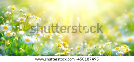 Chamomile flowers field wide background in sun light. Summer Daisies. Beautiful nature scene with blooming medical chamomilles. Alternative medicine. Camomile Spring flower background Beautiful meadow - stock photo