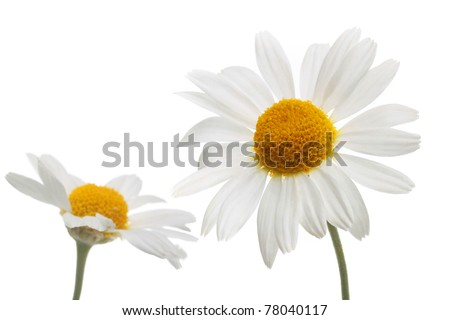 chamomile flowers in isolation - stock photo