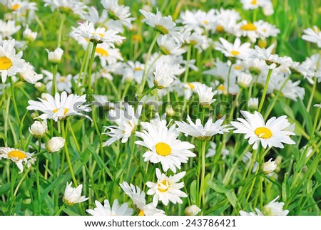Chamomile flowers in the garden - stock photo