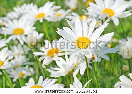 Chamomile flowers in the garden, focus on flower in front - stock photo