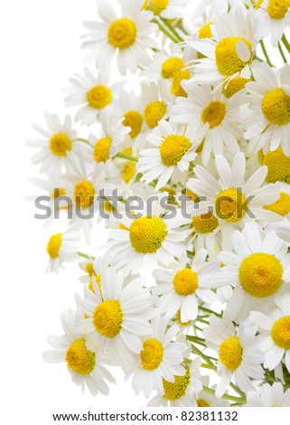 chamomile flowers isolated on white background - stock photo