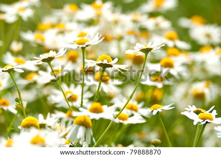 Chamomile flowers on a meadow in summer - stock photo