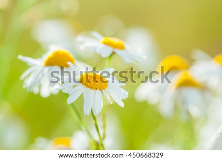 Chamomile flowers on a the summer meadow