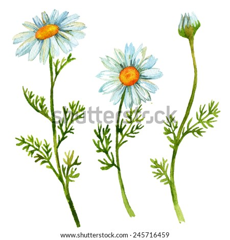 Chamomile flowers set. Hand painted watercolor illustration - stock photo