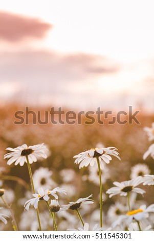 Chamomile flowers with sunlight sky on natural background