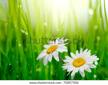 chamomile in green grass - stock photo