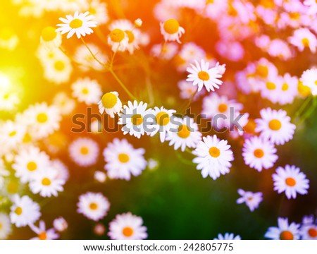 Chamomile in green grass. Soft focus.  - stock photo